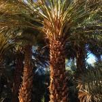 Kebun kurma di Kota Madinah